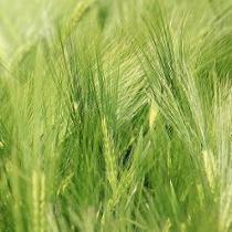 green barley plus opinie forum
